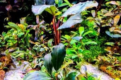 Bucephalandra sp. Centipede