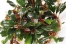 Bucephalandra sp.Brownie Helena