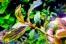Bucephalandra sp. Copper Leaf Melawi, West Kalimantan